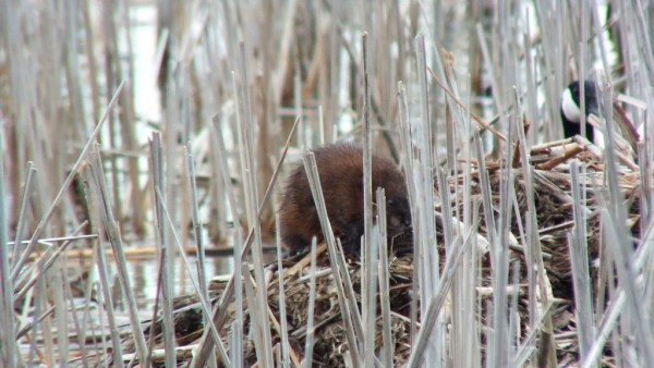 Muskrat - ventures near canada goose nest - Cranberry Marsh - Lynde Shores Conservation Area