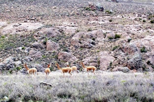 Vicuna herd in high meadow, Peru