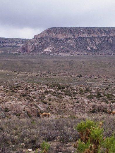 Vicuna stands in distant field, Peru