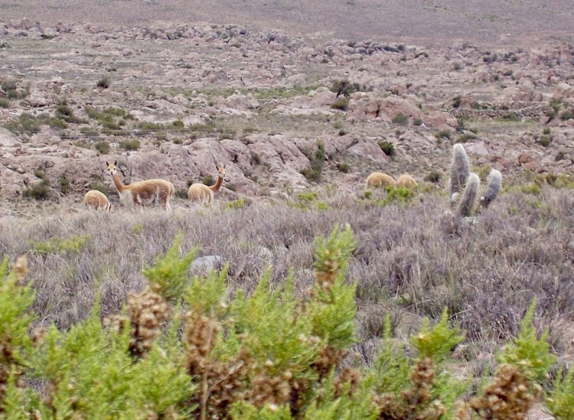 Vicuna turn and look at us, Peru