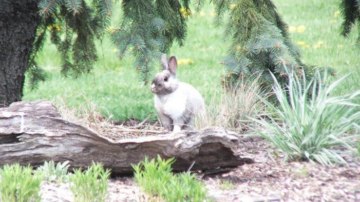 White and grey rabbit - looks at me - Milliken Park - Toronto - Ontario