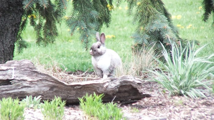 White and grey rabbit - looks at me - Milliken Park - Toronto - Ontario