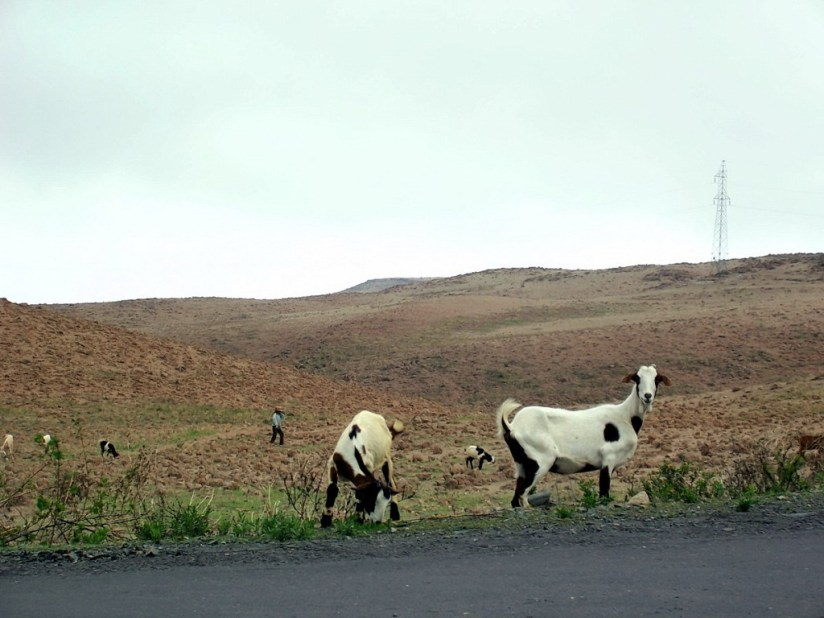 Goats along highway 26 near Nazca, Peru, South America