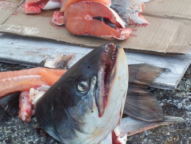 Head of an Arctic char being prep for dinner in Nunavut, Canada