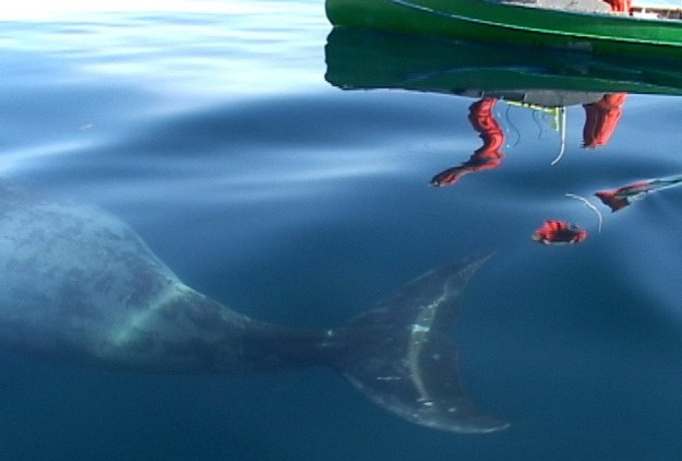 Juvenile Bowhead whale swims below the surface of the water off Kekerten Island, Nunavut, Canada