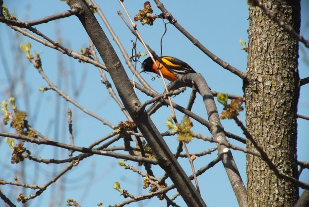 baltimore oriole looks ahead --- thicksons woods - whitby - ontario
