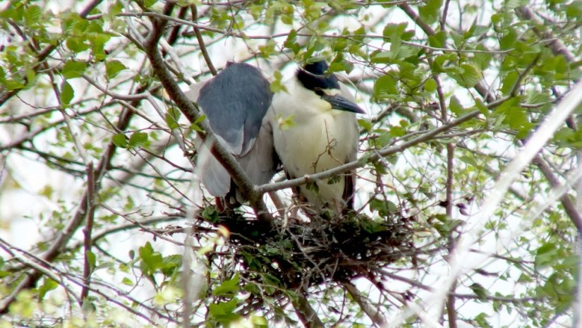 Two Black-crowned Night Herons in a nest at Tommy Thompson Park, in Toronto, Ontario, Canada