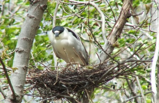 black crowned night heron - in nest gives me a look --- toronto - ontario - may 2013