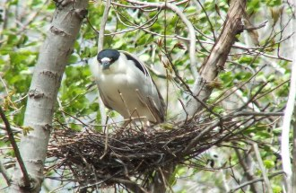 Image of a Black crowned night heron standing in its nest at Tommy Thompson Park, in Toronto, Ontario