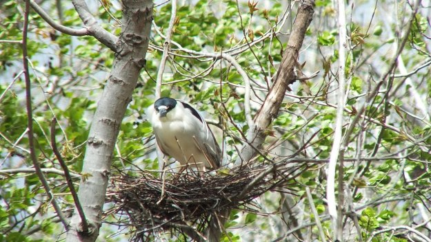 Black-crowned Night Heron standing in a nest at Tommy Thompson Park in Toronto
