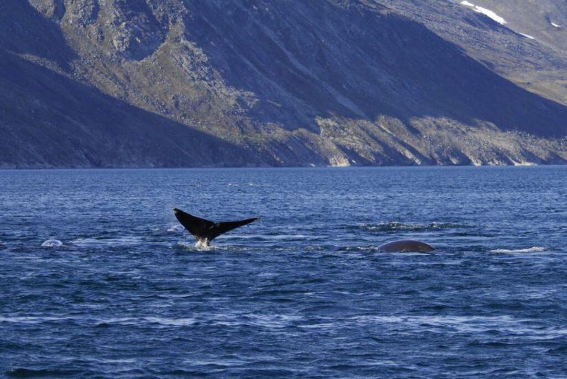 bowhead whales skim-feed in ocean bay off baffin island - nunavut