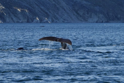 photograph of a Bowhead whales swimming in a bay along Baffin Island, Nunavut, Canada.