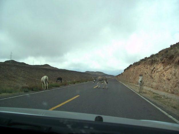 Donkeys on Highway 26 near Nazca, Peru, South America