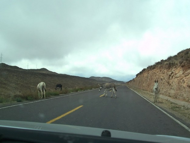 donkey crosses Highway 26 peru