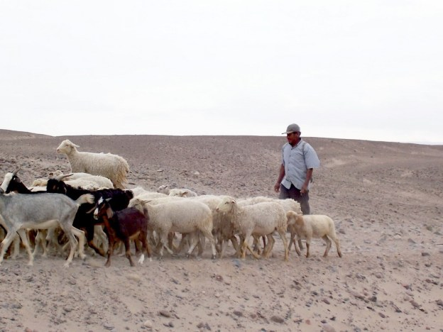goat herder drives animals - chauchilla cemetery - peru