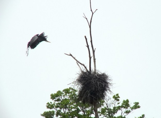 great blue heron - in flight to nest 2 - oxtongue lake - ontario