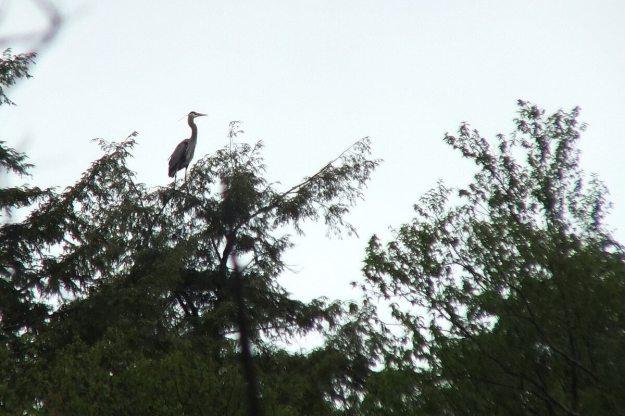 great blue heron - sits atop tree - oxtongue lake - ontario