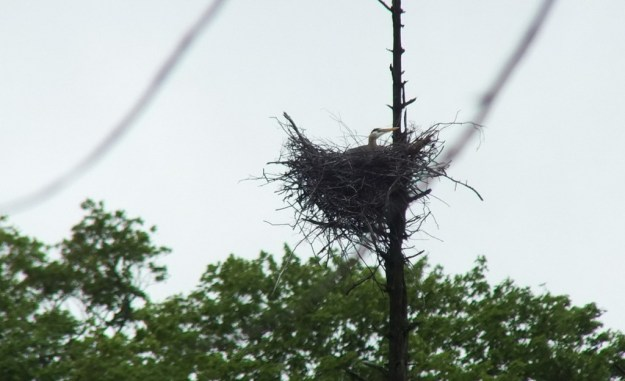 great blue heron - sits in nest - oxtongue lake - ontario