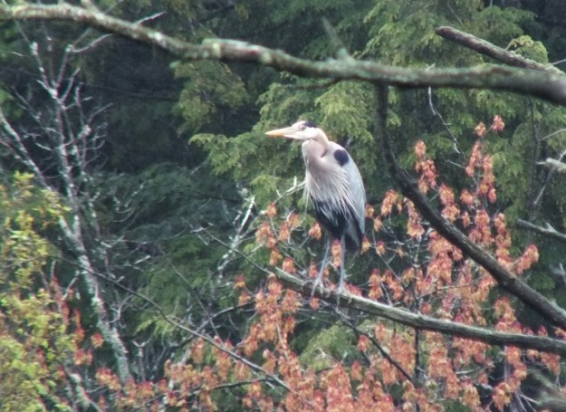 great blue heron - sits on tree branch - oxtongue lake - ontario