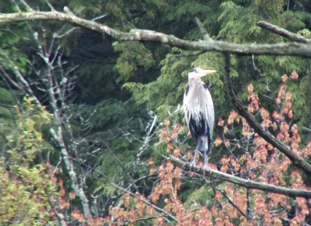 great blue heron - sits on tree -- - oxtongue lake - ontario