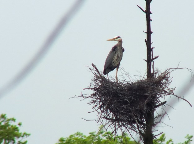 great blue heron stands in nest - oxtongue lake - ontario