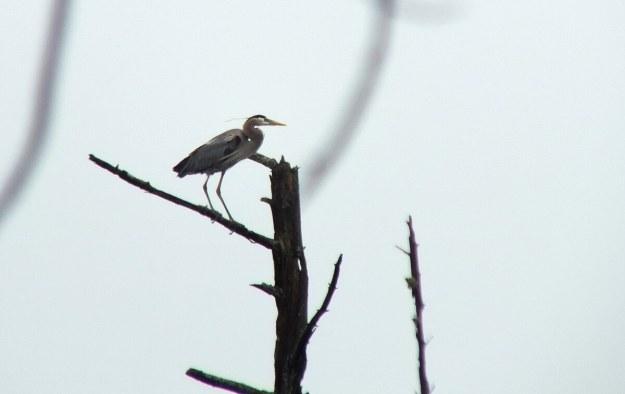 great blue heron - takes flight 1 - oxtongue lake - ontario