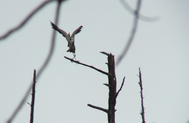 great blue heron - takes flight 2 - oxtongue lake - ontario