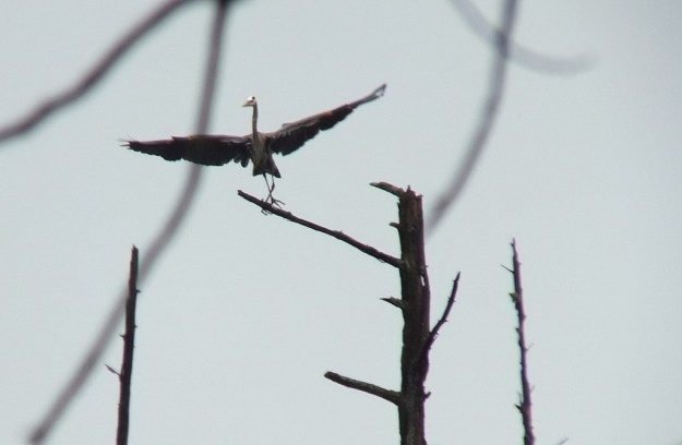 great blue heron - takes flight 3 - oxtongue lake - ontario