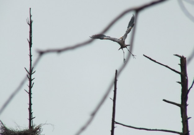 great blue heron - takes flight 6 - oxtongue lake - ontario