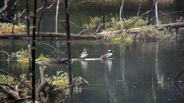 hooded merganser ducks in swamp - oxtongue lake - ontario