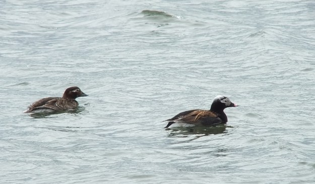 long-tailed duck - male and female at tommy thompson park - toronto - ontario