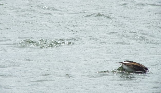 long-tailed duck - the dive part 1 - tommy thompson park - toronto - ontario