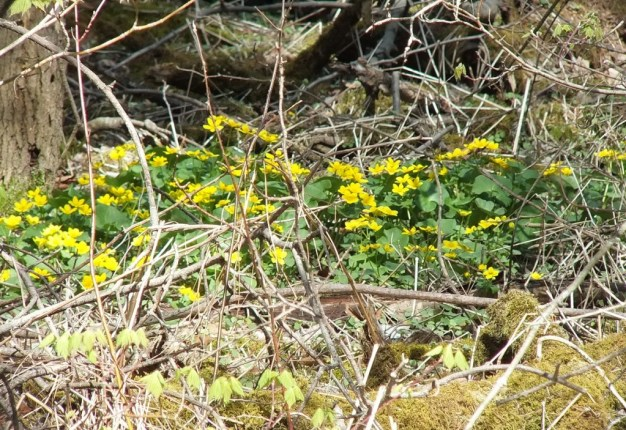 marsh marigolds in thicksons woods - whitby - ontario