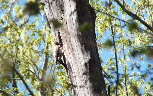 northern flicker - thicksons woods - whitby - ontario
