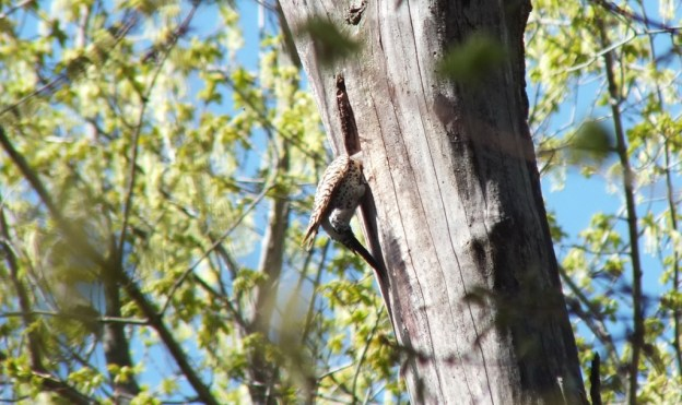 northern flicker - works on nest - thicksons woods - whitby - ontario