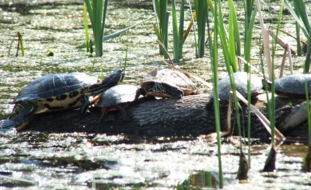red eared slider --- midland painted turtles - milliken park pond - toronto - ontario