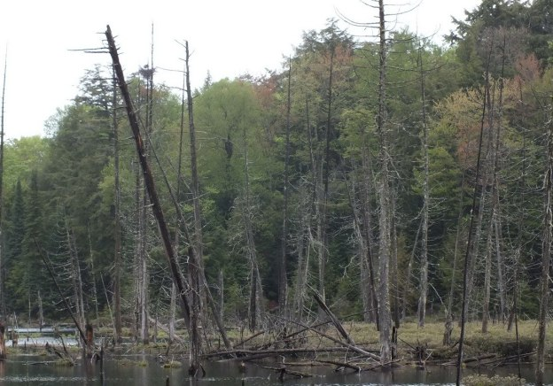 swamp with heron nest near oxtongue lake - ontario - canada