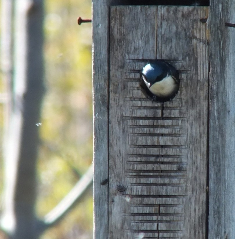 tree swallow - watches flying bug - - thicksons woods meadow - whitby - ontario