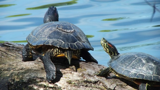 two red-eared slider turtles - milliken park - toronto - ontario - canada