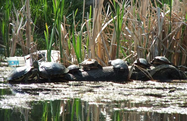 various turtles on log - milliken park - toronto - ontario