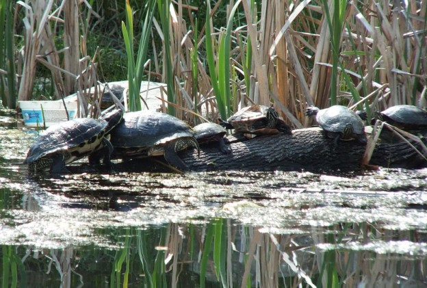 various types of turtles - red eared slider and midland painted - milliken park - toronto - ontario