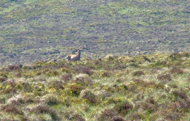 wild deer - along the spinc hiking trail - wicklow mountains - ireland