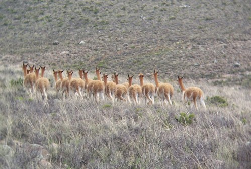 A herd of wild vicuna running across a mountain meadow near Nazca, Peru.