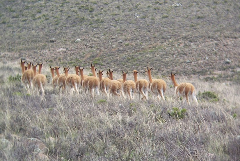Vicuna in the National Reserve of Pampas Galeras in Peru, South America.