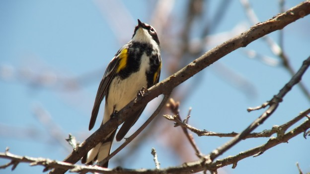 yellow rumped warbler - myrthle version - looks upwards in tree - oxtongue lake - ontario
