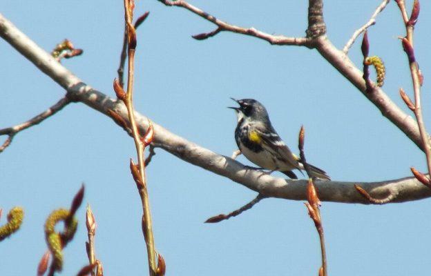 yellow rumped warbler - myrthle version - sings up in tree - oxtongue lake - ontario