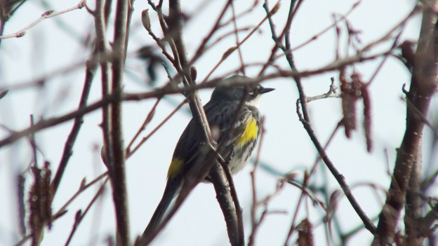 yellow rumped warbler - myrthle version - sits tree by oxtongue lake - ontario