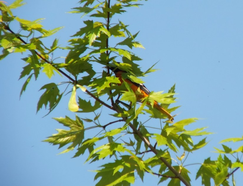 Baltimore Oriole male hiding in maple tree - Second Marsh - Oshawa - Ontario