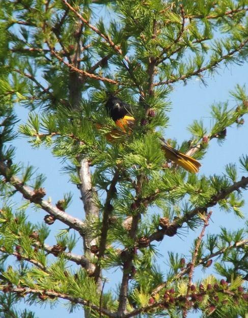 Baltimore Oriole male in tamarack tree - Second Marsh - Oshawa - Ontario