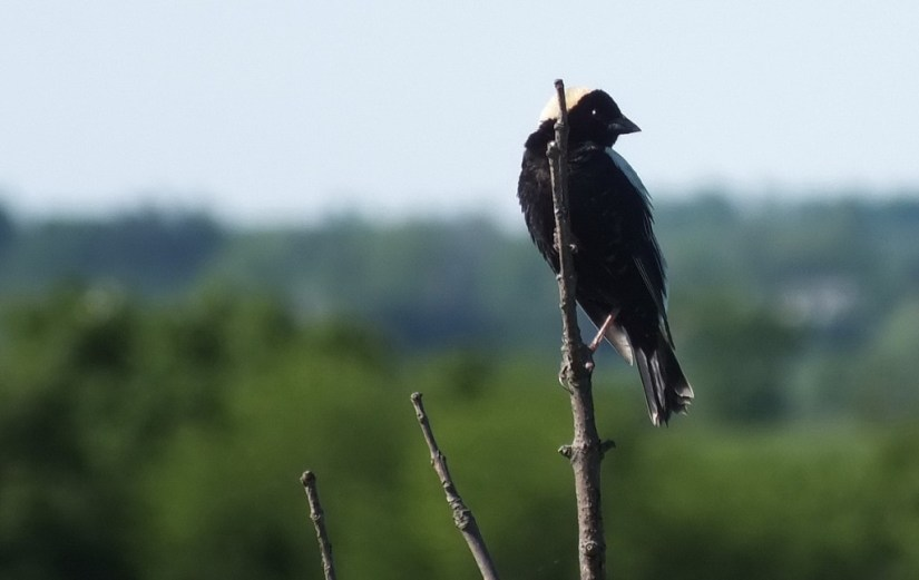 Bobolink - looks backwards - kettle trail - forks of the credit provincial park - ontario